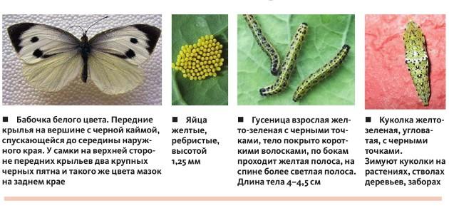 Фото Капустницы Бабочки | 292x630