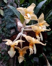 Орхидея-бык впервые зацвела в Сибирском ботаническом саду ТГУ