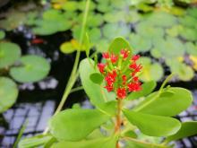 В Сибирском ботаническом саду впервые зацвело чёрное мангровое дерево