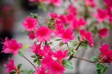 В Ботаническом саду ТГУ можно увидеть цветение азалий.