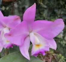 В СибБС ТГУ зацвели дурманное дерево и «орхидея-инопланетянин»