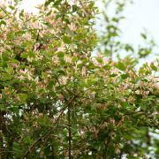 Жимолость татарская, цветение