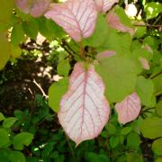 Окраска мужских растений актинидии