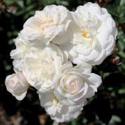 Роза полиантовая 'Ave Maria'