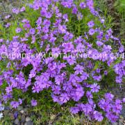 Флокс шиловидный 'Purple Beauty'