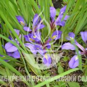 Iris ludwigii Maxim